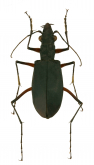 Oxycheila affinis W. Horn, 1900