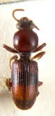 Setodyschirius zonatus (Putzeys, 1868)