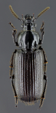 Stereostoma (Stereodema) cf. hirtipenne Müller, 1940