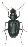Stricklandiana pericalloides (W.J.MacLeay, 1886)
